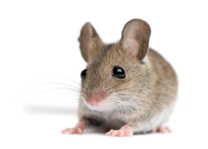 The house mouse (Mus musculus) is a small rodent, a mouse, one of the most numerous species of the genus Mus. Although a wild animal, the house mouse mainly lives associated with humans, causing damage to crops and stored food.